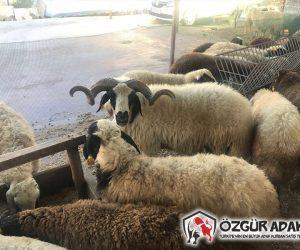 Büyükbakkalköy Adaklık Kurban Satış Yeri
