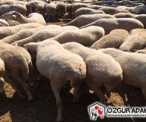 Kadıköy Adaklık Kurban Satış Yeri
